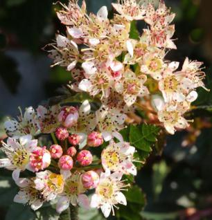 Blasenspiere Little Devil 40-60cm - Physocarpus opulifolius - Vorschau
