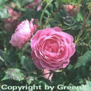 Historische Rose La Reine Victoria 30-60cm - Vorschau