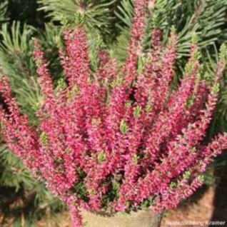 10x Knospenheide Gardengirls Aphrodite - Calluna vulgaris - Vorschau