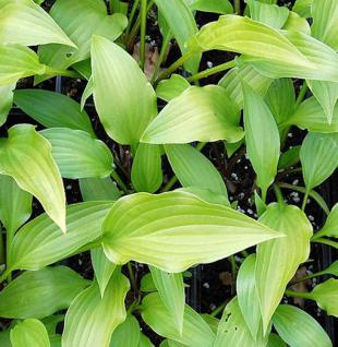Lanzenblattfunkie Alba - Hosta lancifolia - Vorschau
