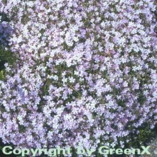 Niedrige Flammenblume Lilac Cloud - Phlox douglasii - Vorschau