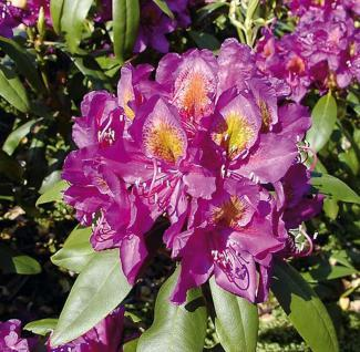 Großblumige Rhododendron Marcel Menard 40-50cm - Alpenrose - Vorschau