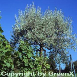 Olivenbaum 60-80cm - Olea europaea - Vorschau