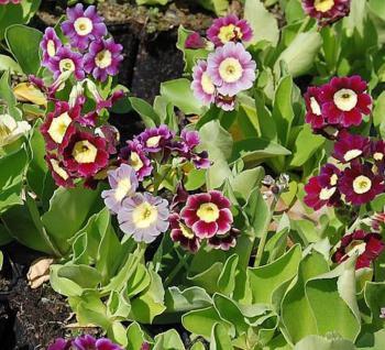 Gartenaurikel Farbmischung - Primula pubescens - Vorschau