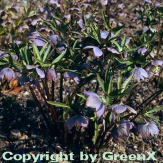 Purpur Lenzrose - Helleborus purpurascens - Vorschau