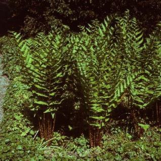 Amerikanischer Riesen Wurmfarn - Dryopteris goldiana - Vorschau