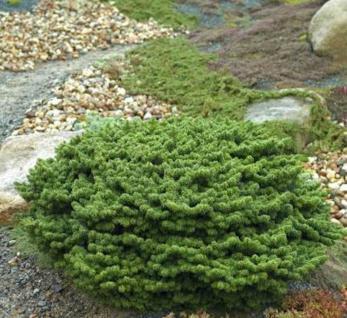 Hochstamm Zwerg Balsam Tanne Piccolo 40-50cm - Abies balsamea - Vorschau