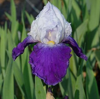 Schwertlilie Arpege - Iris barbata - Vorschau