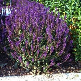 Ziersalbei Lubeca - Salvia nemorosa - Vorschau