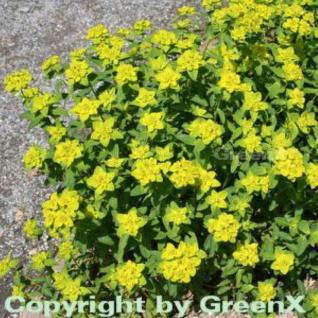Gold Wolfsmilch - Euphorbia polychroma - Vorschau
