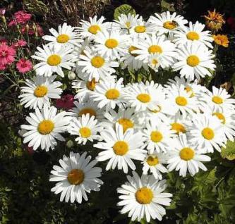 Gartenmargerite Gruppenstolz - Leucanthemum - Vorschau