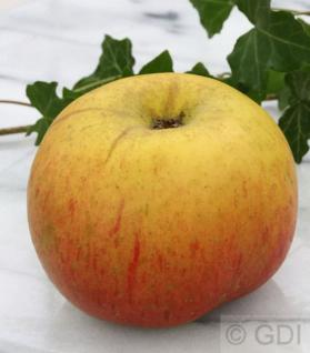Apfelbaum Hildesheimer Goldrenette 60-80cm - edel und feinwürzig - Vorschau
