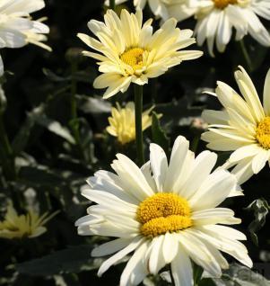 Gartenmargerite Sonnenschein - Leucanthemum superbum - Vorschau
