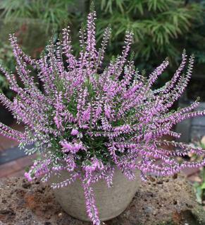 10x Besenheide Marleen - Calluna vulgaris - Vorschau