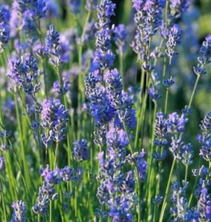Lavendel - Lavandula officinalis - Vorschau