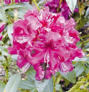 Großblumige Rhododendron Purple Splendour 30-40cm - Alpenrose - Vorschau