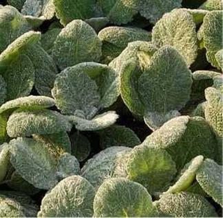 Silber Salbei - Salvia argentea - Vorschau