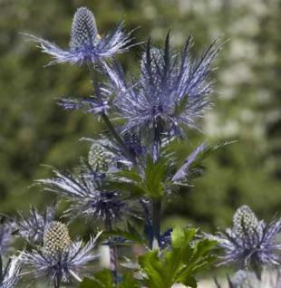 Alpen Mannstreu Blue Star - Eryngium alpinum - Vorschau