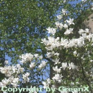 Tulpen Magnolie Alba Superba 40-60cm - Magnolia soulangiana - Vorschau