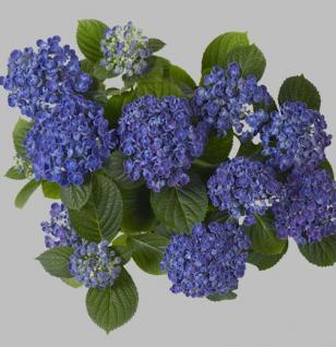 Bauernhortensie Hopcorn® 30-40cm - Hydrangea macrophylla - Vorschau
