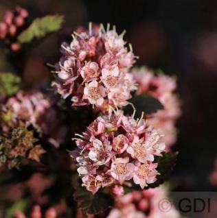 Blasenspiere Tiny Wine 60-80cm - Physocarpus opulifolius - Vorschau