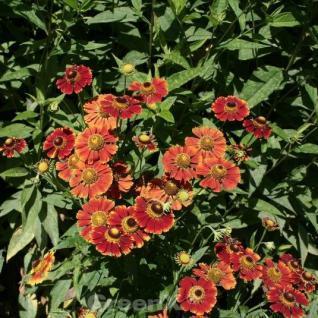 Sonnenbraut Waldhorn - Helenium cultorum - Vorschau
