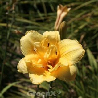 Taglilie Betty Woods - Hemerocallis cultorum - Vorschau