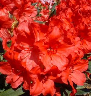 Großblumige Rhododendron Vulcan 40-50cm - Alpenrose - Vorschau