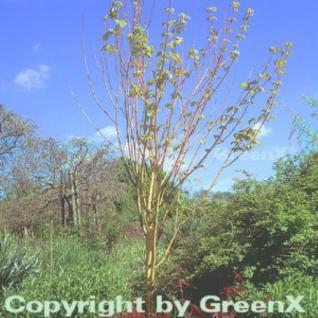 Streifenahorn Phoenix 80-100cm - Acer conspicuum - Vorschau