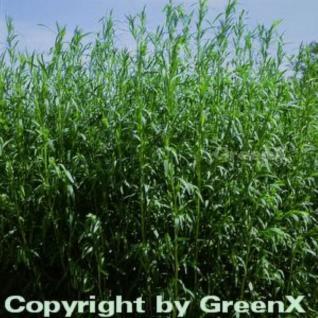 Deutscher Estragon - Artemisia dracunculus - Vorschau