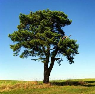 Waldkiefer 80-100cm - Pinus sylvestris - Vorschau