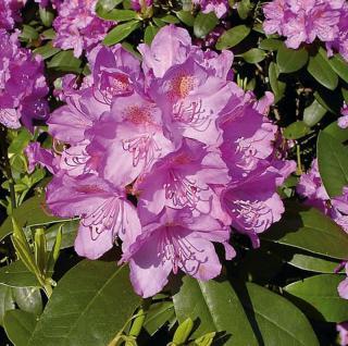Großblumige Rhododendron Catawbiense Grandiflorum 50-60cm - Alpenrose - Vorschau