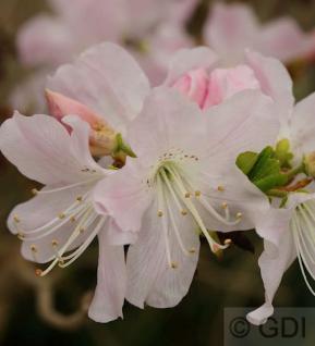 Koreanische Azalee 30-40cm- Rhododendron schlippenbachii - Vorschau