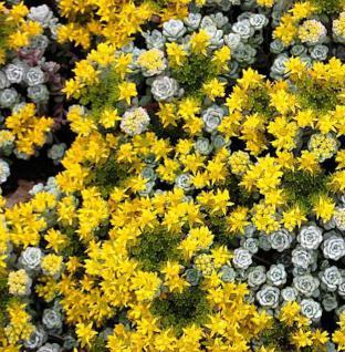 Fetthenne Cape Blanco - Sedum spathulifolium - Vorschau