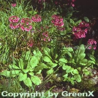 Etagenprimel Millers Crimson - Primula japonica - Vorschau