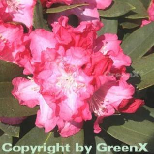 Rhododendron Tina Heinje 30-40cm - Alpenrose - Vorschau