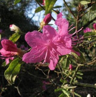 Dahurischer Rhododendron April Rose 25-30cm - Rhododendron dauricum - Vorschau