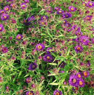 Rauhblattaster Violetta - Aster novae angliae - Vorschau