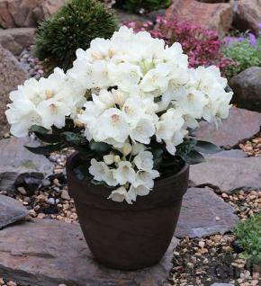 Rostblättrige Alpenrose Album 30-40cm - Rhododendron ferrugineum - Vorschau