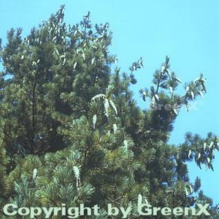 Mazedonischer Kiefer 60-70cm - Pinus peuce - Vorschau