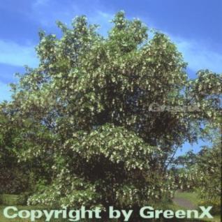 Japanische Pimpernuss 40-50cm - Staphylea bumalda - Vorschau