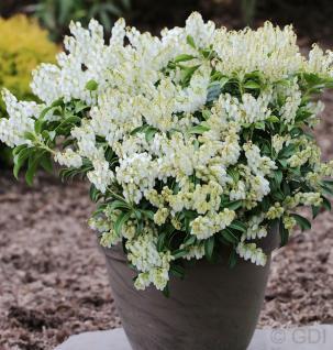 Schattenglöckchen Lavendelheide Prelude 40-50cm - Pieris japonica - Vorschau