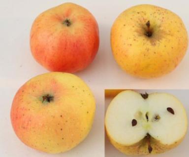 Apfelbaum Stina Lohmann 60-80cm - fest und edel - Vorschau