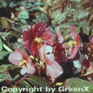 Rote Lenzrose - Helleborus orientalis - Vorschau