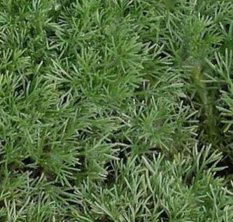 Silber Fliederpolster - Cotula hispida - Vorschau