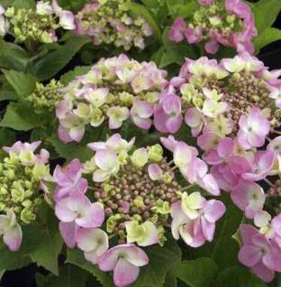 Bauernhortensie Mirage 60-80cm - Hydrangea macrophylla - Vorschau
