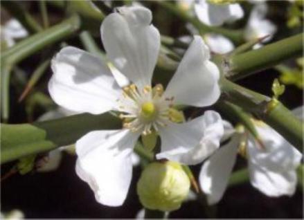Bitterorange 40-60cm - Poncirus trifoliata - Vorschau