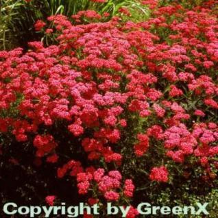 Schafgarbe Cerise Queen - Achillea millefolium - Vorschau