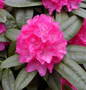 Großblumige Rhododendron Homer 30-40cm - Alpenrose - Vorschau
