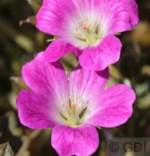 Storchenschnabel Orkney Cherry® - großer Topf - Geranium cultorum - Vorschau